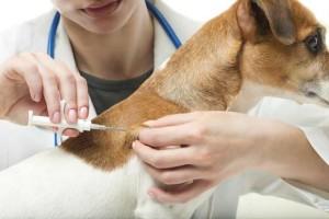 microchip-implantation-dog-